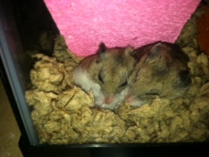Our dwarf hamsters, Gloria and Rhoda, sleeping under their pink rock wall.